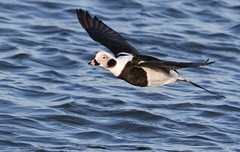 A Long-tailed Duck (rivadock4) Tags: atlantic ocean barnegat inlet longtailed duck new jersey atlanticocean barnegatinlet longtailedduck newjersey