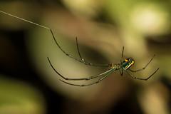 Leucauge venusta (heeeerod) Tags: spider arachnid bug insect orchard web macro nikkor nikon d750 105mm