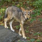 Red wolf cub thumbnail