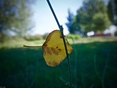 El arco y la flecha (Luicabe) Tags: airelibre árbol cabello campo chopo enazamorado exterior hoja luicabe luis macrofotografía naturaleza planta yarat1 zamora ngc