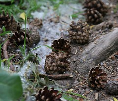 047 (beate967) Tags: tannenzapfen wald