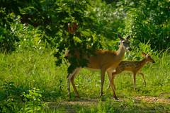 DSCF7273.jpg (zane.hollingsworth) Tags: mosslake 400mm iso200 1320ss 600mm35eqv fawn doe lake f56 deer babydeer