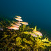 Blackspot goatfish - Parupeneus spilurus