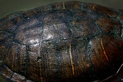 Carapace (oliviercharpentier) Tags: tortue carapace macro