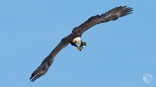 Bald Eagles of the Jersey Shore | 2017 - 81 [EXPLORED]