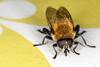 Bzz, I'm a Bumblebee, pt. 2 - _TNY_5256 (Calle Söderberg) Tags: macro canon canon5dmkii canonef100mmf28usmmacro canoneos5dmarkii raynox dcr250 flash ringflash yongnuo yn14ex insect fly hoverfly blomfluga syrphidae narcissblomfluga brednarcissblomfluga narcissusbulbfly bulbfly greaterbulbfly merodon equestris largenarcissusfly eristalinae compoundeyes hair hairy fuzzy fuzz fur furry yellow mimicry f22 5d2
