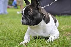 19237921_1346223252100125_503420493654134260_o (Anastasia Neto) Tags: frenchbulldog frenchies frenchie funnydog frenchbulldogs funnydogs petmodel puppies petphotography petphotographer dog dogphotography dogmodel dogs dogphotographer cutepuppies cutepuppy dogshow