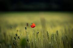 another poppy... (UpuautX) Tags: a6500 90mm sony fe90mm poppy mohn