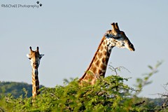 girafs (MiChaH) Tags: vakantie holiday 2017 southafrica zuidafrika phinda privategamereserve gamedrive wildlife animals dieren privateparc reservaat wildedieren big5 girafs