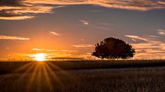 Der Sonne entgegen (Sascha Wolf) Tags: feld baum birnenbaum solitärerbaum gegenlicht hdr lichtstimmung