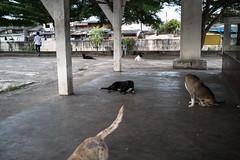 * (Sakulchai Sikitikul) Tags: street snap streetphotography summicron songkhla sony a7s 35mm dog thailand hatyai