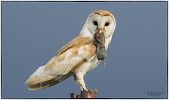 Barn Owl (jonathancoombes) Tags: barn owl bird wings post catch vole mouse rodent hunt explore nature wildlife