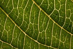 Blattader (stephancronjäger) Tags: abstrakt artwork art macrophotografy makro macro creative natur nature linien green grün ader blatt