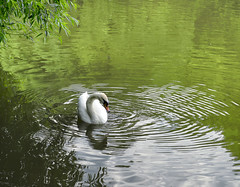 In the green circle (Varvara_R) Tags: nature summer lake water rippled reflection green swan bird tranquility calmness park peaceful