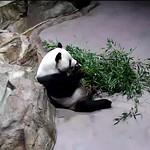 Panda Tian thumbnail