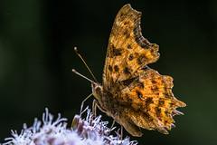 C-Falter (Polygonia c-album, Syn.: Nymphalis c-album) (AndreLo2014) Tags: cfalter polygonia calbum nymphalis edelfalter tagfalter sony makro nature macro sigma 105mm schmetterling butterfly