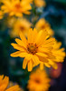 Sunny worm on a sunny flower (Z!SL) Tags: flowers flora flower nature bokeh bokehwhores dof depthoffield zeiss carlzeiss sel24f18z sel24f18 sel24f18za sonyphotographing sony sonnarte1824 sonnar2418za sonnar sonyflickraward sonynex nex5r nex5 nex mirrorless minoltaemount emount yellow