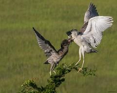 blkcrowns2a (lfalterbauer) Tags: blackcrownednightherons canon 7dmarkii oceancity jerseyshore newjersey bokeh flickr cornell nature wildlife birdwatcher yahoo ornithology avian bay wetlands ocean