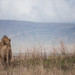 The King - Lion - Ngorongoro