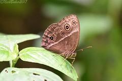 0029-30.jpg (laba laba) Tags: bicyclus uniformis bicyclusuniformis africa cameroon cameroun campomaan nationalpark campomaannationalpark dipikarisland dipikar island insect butterfly macro closeup rainforest nature