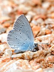 Osiris Blue
