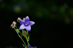 split screen (Marc R. A.) Tags: a7r2 flower flowercloseup batis1885 batis85 sony zeiss blume nahaufnahme violett