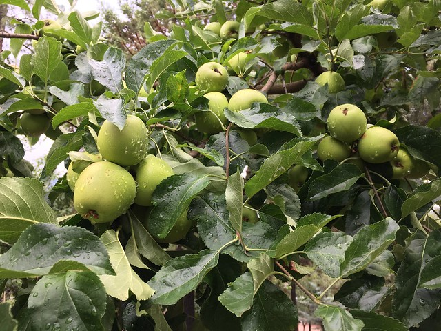 It's a Good Apple Year
