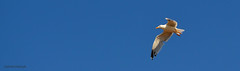 Freedom (Valeriia Diduryk) Tags: sky bird summer blue freedom fly nikon d5100