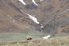 Bear butt (frostnip907) Tags: wildlife nature alaska bear grizzly brownbear bears brownbears grizzlies grizzlybear grizzlybears denali denalinationalpark denalinationalparkandpreserve landscape tundra