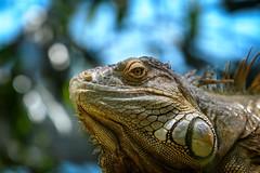 Looking down (Rico the noob) Tags: dof bokeh portrait nature d500 switzerland 70200mmf28 reptile animal zurich macro schweiz published lizard indoor 70200mm zoo eye closeup 2017 animals