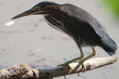 Green Heron-First Summer (drbeanes) Tags: green heron butorides virescens