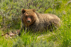 Having her fill (ChicagoBob46) Tags: ynpmay2017grizzlybear grizz grizzly grizzlybear bear sow yellowstone yellowstonenationalpark nature wildlife coth5 sunrays5