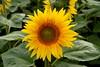 Golden Disc (dhcomet) Tags: hitchin lavender farm sunflower herts ickleford hertfordshire