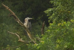 Great Blue in the rain (S. J. Coates Images) Tags: heron rain great blue