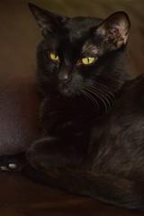 My black Pepê (mara.arantes) Tags: retrato portrait catpet eyes black negro preto noir gatto gato pet kitty