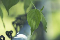 Calypso (charhedman) Tags: fencefriday doyouunderstandthetitle communitygarden fence wire leaves hearts spades light shadows