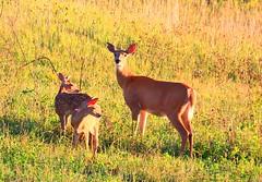 white-tailed deer doe & fawns at Cardinal Marsh IA 854A3007 (lreis_naturalist) Tags: whitetailed deer doe fawns cardinal marsh winneshiek county iowa larry reis