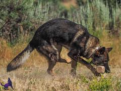 P7150365 (Songdog Studios) Tags: green dog neumond womensretreat 2017 k9 schutzhund ipo