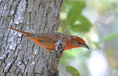 Hepatic Tanager (Digital Plume Hunter) Tags: