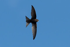 Swift (Andy & Helen :-) :)) Tags: swift bird apusapus flight fannedtail bif staffordshire uk andy olympus wildlife