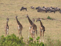 Masai giraffes and Wildebeest (Oleg Chernyshov) Tags: masaigiraffe giraffacamelopardalistippelskirchi масайскийжираф