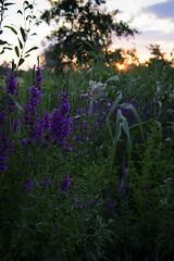 Tavrian sunset (SweetWD) Tags: sunset steppe ukraine flowers sky flowersarebeautiful landscape