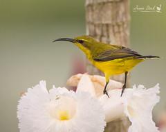 Female Olive-bellied sunbird (Jennie Stock) Tags: olivebackedsunbird farnorthqueensland daintreevillage nectariniajugularis