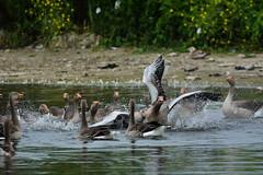 Goosefight going on (oxipang) Tags: goose geese fight fighting gans ganzen vechten toeschouwers spectators zoetermeer holland oxipang