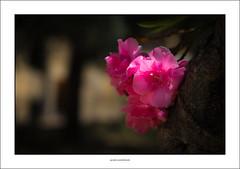 Oleander flowers (G. Postlethwaite esq.) Tags: dof italy sicily sonya7mkii sonyalphadslr beyondbokeh bokeh depthoffield flowers fullframe mirrorless oleander photoborder selectivefocus