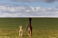 Alpacas (jonathan.scaife81) Tags: llama alpaca field horizon family baby stanley perthshire active kids scotland canon 6d tamron28300 tamron 28300mm