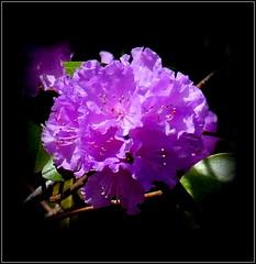Natural Wonder (dimaruss34) Tags: newyork brooklyn dmitriyfomenko image flower azalea