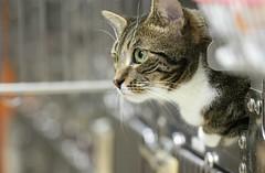 Kinder (Kerri Lee Smith) Tags: kinder carnegiecatclinic cats felines tabbies profiles happycaturday ccc