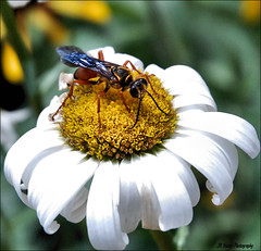 And Now for Something Completely Different !! (John Neziol) Tags: jrneziolphotography tachypompilusunicolor unicolor wasp nikon nikondslr nikoncamera nikond80 nature daisy flower garden outdoor brantford bokeh insect interesting bug wildlife wings macro nikonflickraward