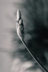 Reborn (VDomazet) Tags: art bw monochrome detail flower light nikon macro backtonature nature life flickr